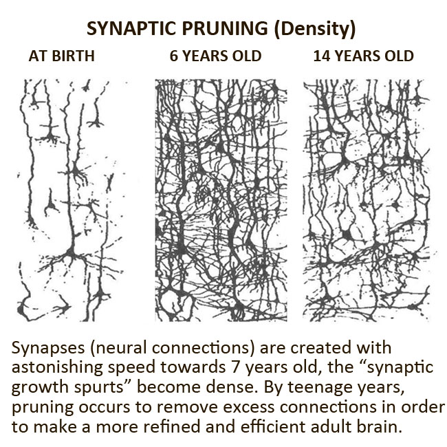 synaptic spurts